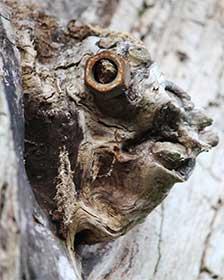 Knorriger Kopf an einem Baum