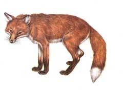 Farbige Zeichnung eines Fuchses