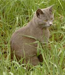 Graue Katze im Gras