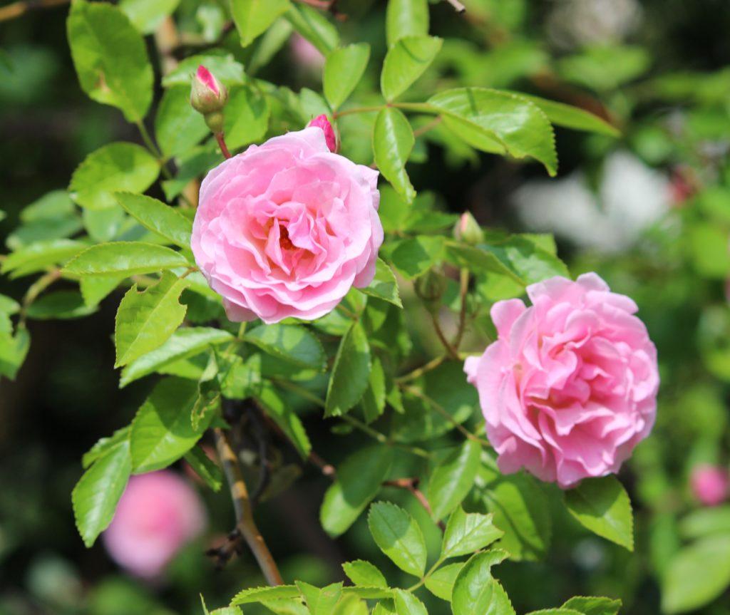 Zwei rosa Rosen am Strauch