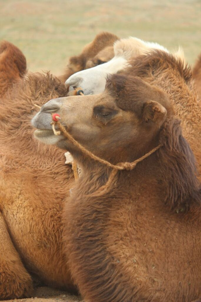 sitzende Kamele