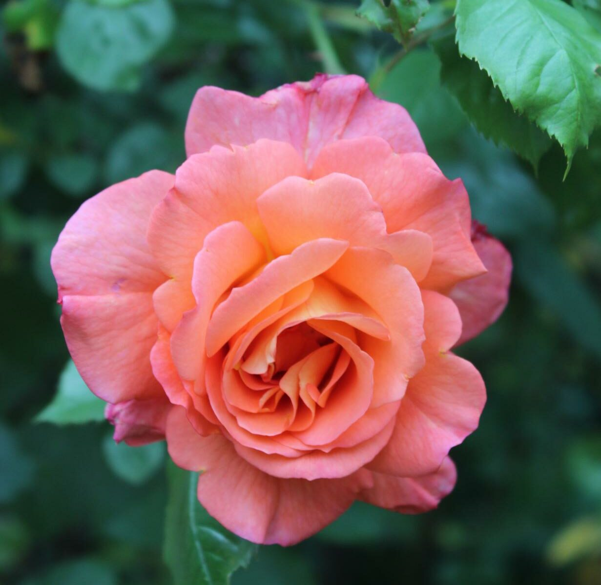 Apricotfarbene Rose