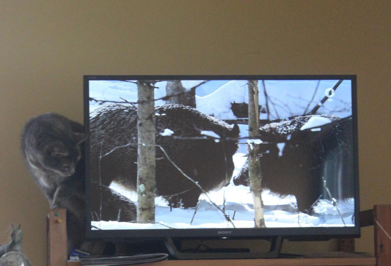 Katze sieht fern
