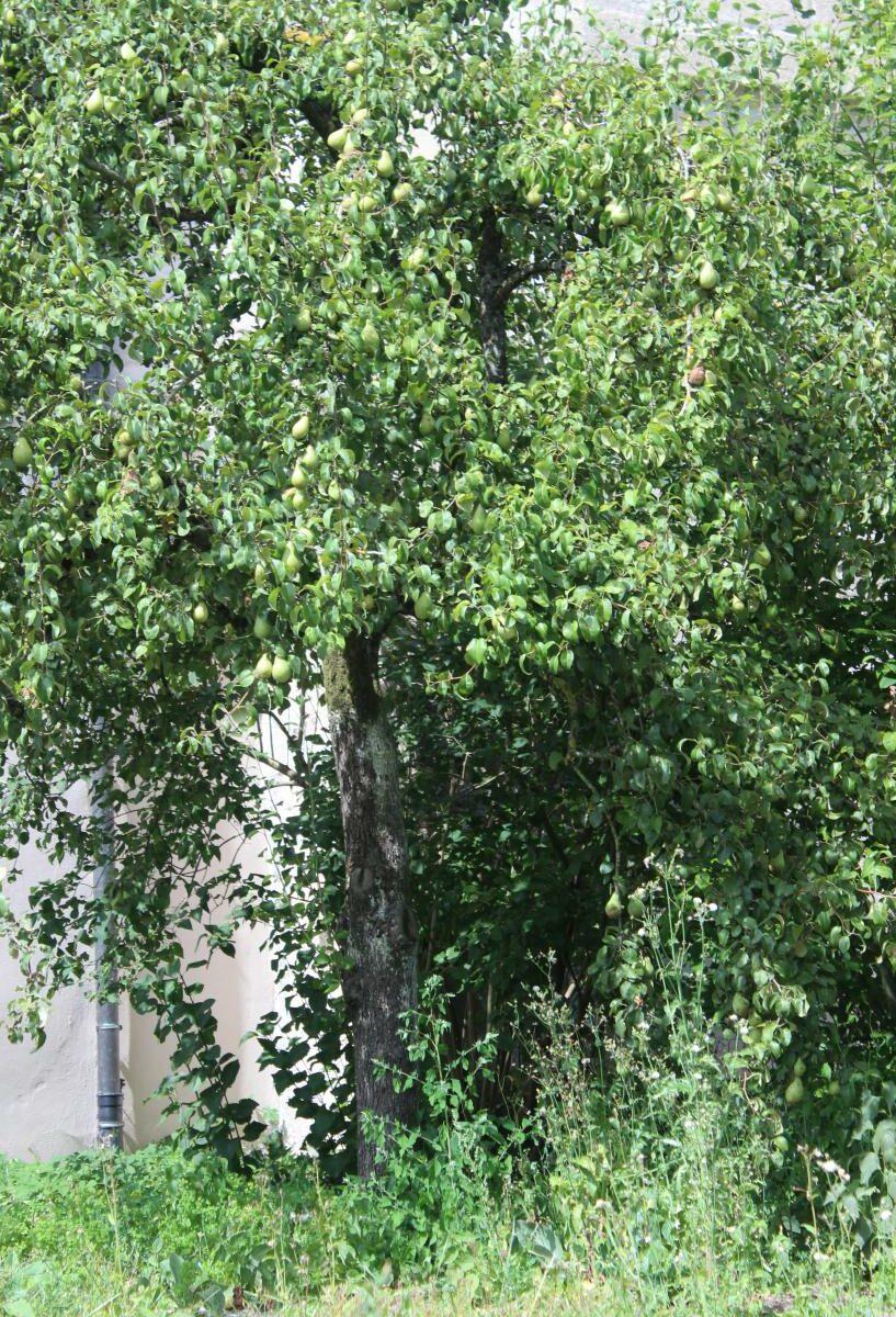 Großer Baum vor weißem Schloss